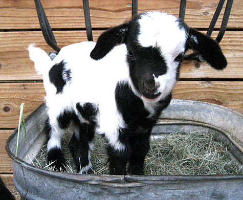 Cute Baby Pygmy Goats In Sweaters Of course you always have to